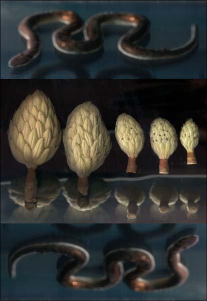 Magnolios + Macropotodon cucullatus