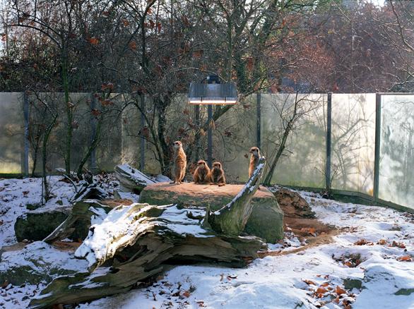 Cuatro suricatas en Stuttgart Serie Selección Natural