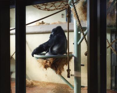 Gorilla, 2005
