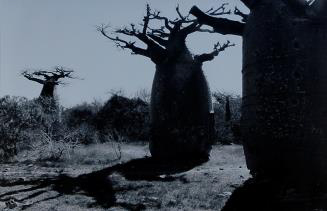 Tacita Dean, Baobab I, 2001