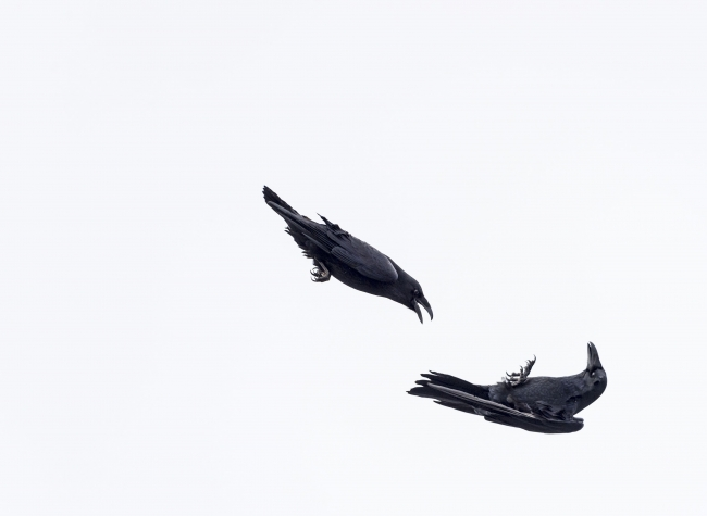 © Knut-Sverre Horn, Raven flight show (European Wildlife Photographer of the Year Competition organised by GDT) — Cortesía de Afundación