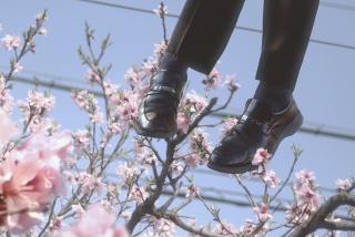 Sakura Chiru