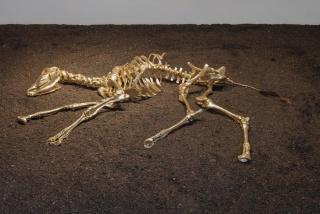 Siron Franco - S+®rie em Nome de Deus, 2018 - ossada de bezerro e folha de ouro - 130 x 130 cm
