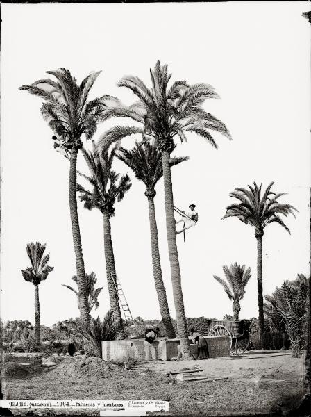 Casa fotográfica de Laurent, Palmeras y huertanos. Elche, 1870-1872