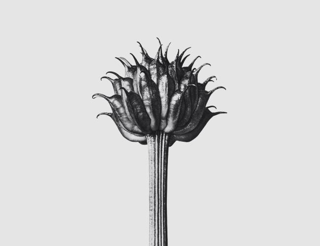 Karl Blossfeldt, Solo — Cortesía de Loewe Perfumes
