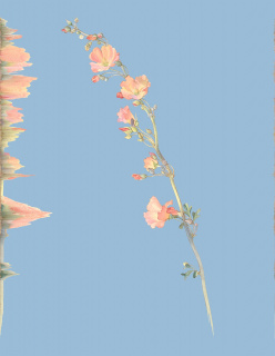 Andrea Wolf, Sphaeralcea Munroana — Cortesía de Isabel Croxatto Galería