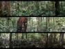 entangled, Pablo Sanz. Localizaciones de grabación en bosques de tierra firme, Amanã. Amazonia central, 2015