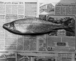 Robert Mapplethorpe, Fish, 1985. Impresión en gelatina de plata, 40.64 x 50.8 cm. ©The Robert Mapplethorpe Foundation, used by permission. Por cortesía de la Galería Elvira González