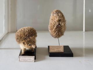 A Certain idea of a Natural History [Ouriço], 2015