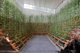 Image: Ximena Garrido-Lecca. Installation view of Insurgencias Botánicas: Phaseolus Lunatus, 2017. Photo: Ramiro Chavez. Courtesy of Fundação Bienal de São Paulo