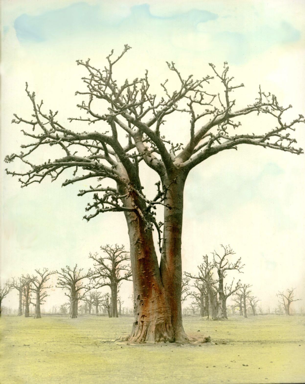 La sombra del Baobab