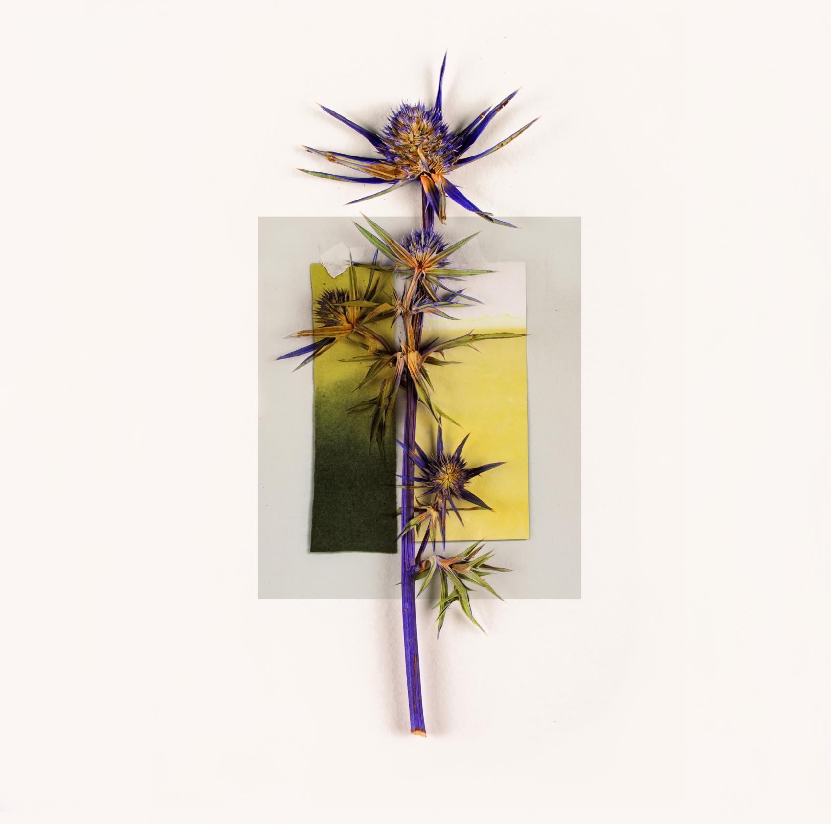 pantone-paisaje. eryngium (2018) - MCarmen G. Mahedero - Inula